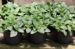 Växter i växthus Arkivfoton