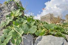 Växter mot en bakgrund av den gamla fästningen arkivbild