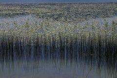 Växter och reflexion på sjön Abant Fotografering för Bildbyråer
