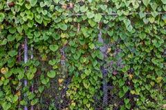 Växter på järnstaketet Royaltyfri Fotografi