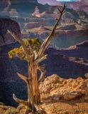 Växter på kanten av Grand Canyon Royaltyfria Bilder