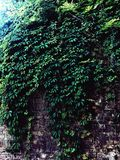 Växter på väggen Royaltyfri Bild