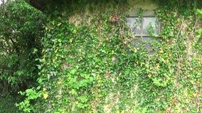 Växter på väggen och fönstret av det gamla huset stock video