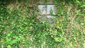 Växter på väggfönstret och på dörren av ett gammalt och övergett hus stock video