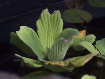 Växter på vattenyttersidan Fotografering för Bildbyråer