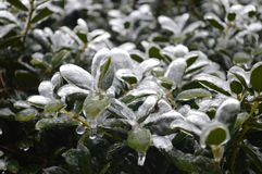 Växter som täckas i is Royaltyfri Foto