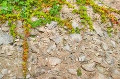Växter som upp kryper den gamla stenväggen Arkivbild