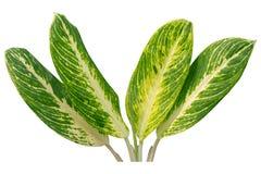 Växter spricker ut tropiskt objekt för design- eller beståndsdelinre som isoleras på vit bakgrund Snabb bana royaltyfri foto