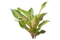 Växter spricker ut tropiskt objekt för design- eller beståndsdelinre som isoleras på vit bakgrund Snabb bana royaltyfria foton