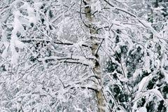 Växter under den insnöade vinterskogen Royaltyfria Bilder