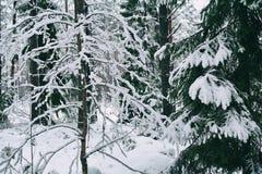 Växter under den insnöade vinterskogen Royaltyfri Bild