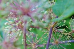 Växtfyrverkerier Fotografering för Bildbyråer