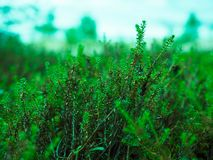 Växtgräsplanljung n arkivfoton