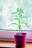Växtheliotrop utan blom Arkivbild