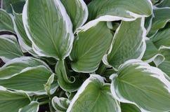 Växthosta, slut upp Royaltyfria Bilder