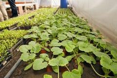 Växthus för grönsaker - zucchini Arkivfoto