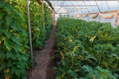 Växthus med bönor och tomater Royaltyfria Foton