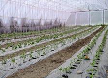 Växthus med den plast- filmen som lyftte tidiga tomatpeppar och andra grönsakplantor Arkivbilder
