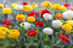 Växthus med färgrika blommasmörblommor som slås in i plast- folie Royaltyfri Fotografi