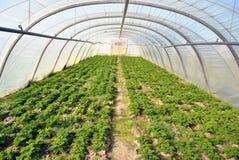 Växthus med persilja Arkivbild