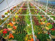Växthus mycket av färgrika blommor Royaltyfria Bilder