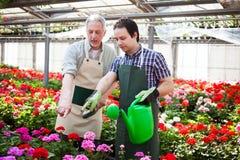 Växthusarbetare som bevattnar växter Arkivbild