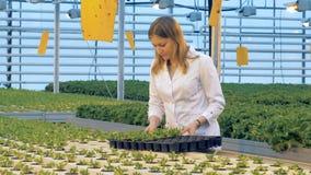 Växthusarbetaren förflyttar krukor med grönsallat stock video