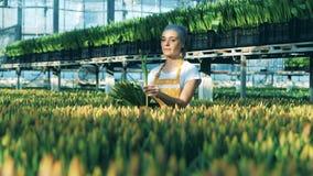 Växthusarbetaren samlar tulpan som väljer dem från en jordning arkivfilmer