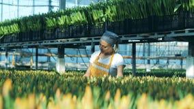 Växthusarbetaren väljer tulpan mot efterkrav dem in i grupper stock video