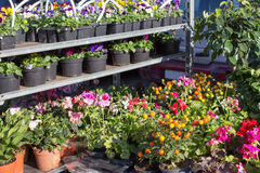 Växthusblommaplantor Linjer av små växter som växer i ett växthus Royaltyfri Foto