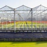 Växthuset av att blomstra blommar mycket i Nederländerna Arkivfoton