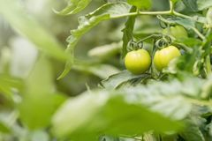 växthuset planterar tomaten Organiskt lantbruk för gröna tomater fotografering för bildbyråer