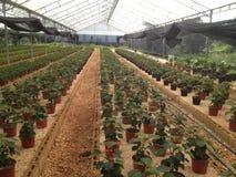 Växthusjulblomma Fotografering för Bildbyråer