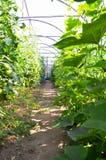 Växthustoamtoes och gurka Royaltyfri Bild