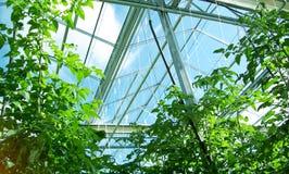 Växthustomater Fotografering för Bildbyråer