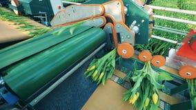 Växthustransportören flyttar tulpan mot efterkrav dem in i grupper stock video