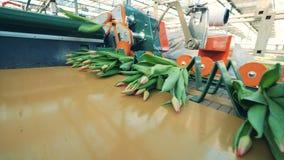 Växthusutrustningflyttningar samlade grupper av tulpan arkivfilmer
