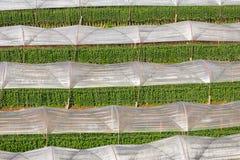 Växthusväxt, kungligt projekt, Doi Inthanon Royaltyfri Foto