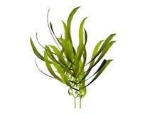 Växtillustrationer Arkivfoton