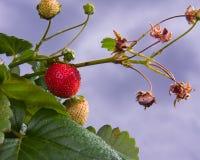 växtjordgubbe arkivfoton