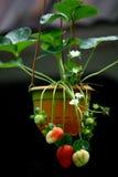 växtjordgubbe Royaltyfri Bild