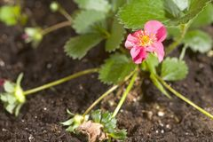 växtjordgubbe Royaltyfri Fotografi