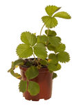 växtjordgubbe royaltyfria bilder