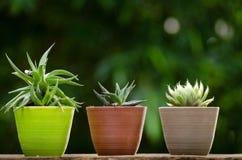 Växtkruka med kaktuns med grön bakgrund Arkivfoton