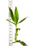 växtlinjal Royaltyfri Fotografi