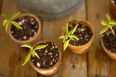 Växtplantor Royaltyfri Fotografi
