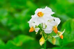 växtpotatis Royaltyfri Foto