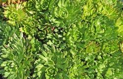 växtpurplerobe Royaltyfria Bilder