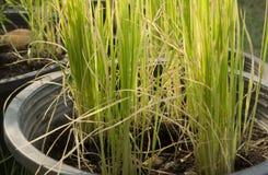 Växtris i kruka Fotografering för Bildbyråer