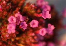 Växtrosa färgblommor Royaltyfri Fotografi